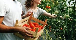 Giovani coppie degli agricoltori che lavorano nella serra Immagine Stock