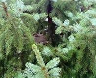 Giovani coppie la tortora dal collare orientale euroasiatica nel nido fotografia stock