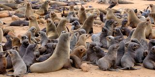 Giovani cuccioli di foca della pelliccia del capo con le loro madri alla colonia di foche sulla spiaggia all'incrocio del capo su fotografia stock libera da diritti