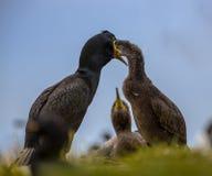 Giovani d'alimentazione del tessuto felpato europeo sul nido Immagine Stock