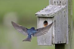 Giovani d'alimentazione dello Swallow di albero Fotografia Stock