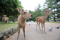 Giovani deers Immagini Stock
