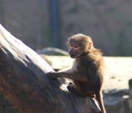 Giovani del babbuino di Hamadryas in albero fotografia stock libera da diritti