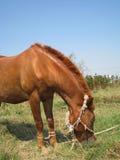 giovani del cavallo Immagini Stock Libere da Diritti