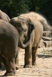 giovani dell'elefante Immagine Stock