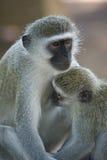Giovani di allattamento della scimmia di Vervet (pygerythrus di Chlorocebus) Fotografie Stock