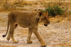 Giovani di leone del cucciolo gambe chiazzate giovanili maschii superbe ancora immagini stock libere da diritti