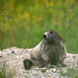 giovani di seduta della marmotta Immagine Stock Libera da Diritti