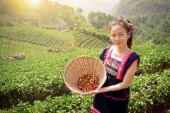 Giovani donne asiatiche tribali dalla fragola di raccolto della Tailandia su fie Immagine Stock Libera da Diritti
