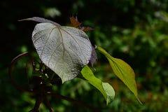 Giovani e più vecchie foglie del catalpa giallo Catalpa Ovata Immagine Stock