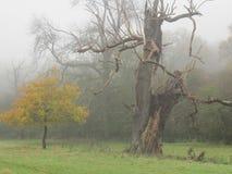 Giovani e vecchi alberi in un legno nebbioso Immagine Stock Libera da Diritti