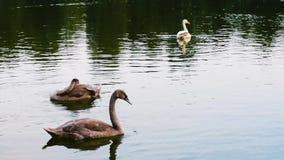 Giovani e vecchi cigni che nuotano su uno stagno stock footage