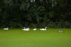 Giovani e vecchi cigni che nuotano in uno stagno Immagini Stock