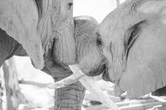 Giovani e vecchi elefanti di toro insieme Fotografie Stock Libere da Diritti