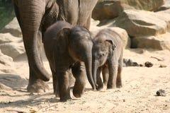 Giovani elefanti Immagini Stock Libere da Diritti