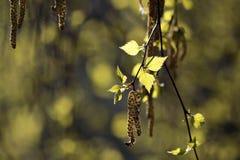 Giovani fogli della betulla Fotografia Stock Libera da Diritti
