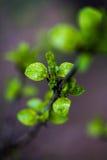 Giovani foglie Fotografia Stock