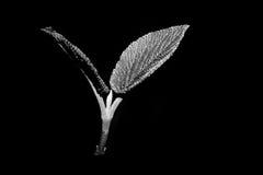 Giovani foglie Fotografie Stock