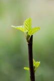 Giovani foglie dei fichi Fotografie Stock