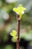 Giovani foglie dei fichi Fotografia Stock Libera da Diritti