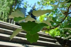 Giovani foglie del pioppo Fotografia Stock
