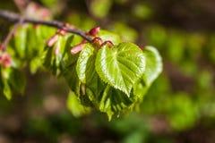 Giovani foglie del tiglio immagini stock