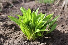 Giovani foglie del ursinum dell'allium in primavera Sopporti l'aglio, perché è raccolto nel selvaggio, ha grandi abilità curative Immagini Stock