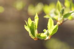 Giovani foglie dell'albero dell'ciliegia-uccello nella mattina di primavera Immagine Stock
