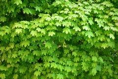 Giovani foglie dell'albero di acero che crescono in primavera Immagine Stock