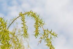 Giovani foglie dell'albero di salice Immagine Stock