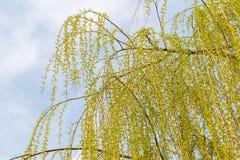 Giovani foglie dell'albero di salice Fotografia Stock Libera da Diritti