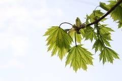Giovani foglie della molla dell'albero fotografie stock libere da diritti