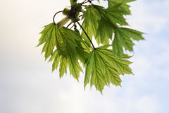 Giovani foglie della molla dell'albero immagine stock