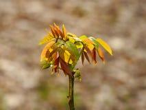 Giovani foglie della molla della noce immagini stock libere da diritti