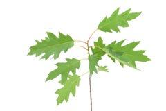 Giovani foglie della molla sul ramo isolato Fotografia Stock
