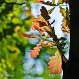 Giovani foglie della quercia   in primavera foresta. Immagini Stock Libere da Diritti