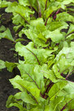 Giovani foglie delle barbabietole Fotografia Stock