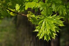 Giovani foglie di acero Fotografie Stock Libere da Diritti