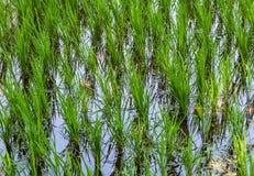 Giovani foglie di riso su un campo fotografia stock libera da diritti
