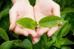 Giovani foglie di tè in mani della donna Immagini Stock Libere da Diritti