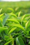 Giovani foglie di tè verdi nella piantagione di tè Fotografia Stock Libera da Diritti