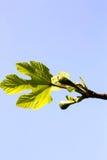 Giovani foglie e frutti del fico Fotografie Stock Libere da Diritti