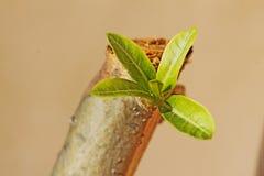 Giovani foglie fresche di una pianta della rosa del deserto sul ramo di legno Immagini Stock Libere da Diritti