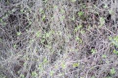 Giovani foglie fresche nella macro Rami sottili della vigna in uno strato continuo immagine stock