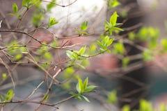 Giovani foglie germoglianti sul ramo, molla Fotografie Stock