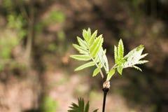 Giovani foglie soleggiate del primo piano della cenere di montagna fotografia stock