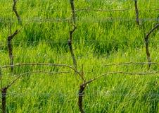 Giovani foglie tenere verdi dell'uva su un fondo di cielo blu in primavera Vigna nella primavera fotografia stock libera da diritti