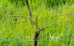 Giovani foglie tenere verdi dell'uva su un fondo di cielo blu in primavera Vigna nella primavera immagini stock