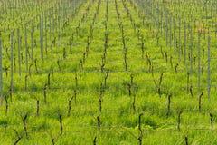 Giovani foglie tenere verdi dell'uva su un fondo di cielo blu in primavera Vigna nella primavera fotografie stock libere da diritti
