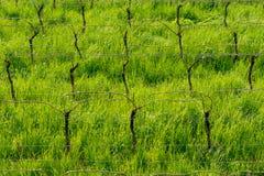 Giovani foglie tenere verdi dell'uva su un fondo di cielo blu in primavera Vigna nella primavera fotografia stock